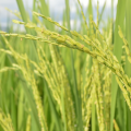 種子法とは?廃止でどうなる?それぞれの主張をわかりやすく解説